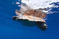 Reflected loggerhead turtle, Caretta caretta, basking in the sun, Pico, Azores, Portugal