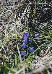THEMENBILD - wilde, kleine Veilchen auf einer Wiese, aufgenommen am 03. April 2020 in Kaprun, Oesterreich // wild little violets in a meadow, in Kaprun, Austria on 2020/04/03. EXPA Pictures © 2020, PhotoCredit: EXPA/Stefanie Oberhauser