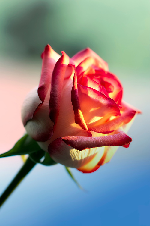 A single rose on a colorful background.