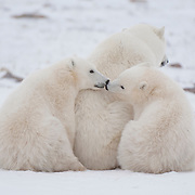 Polar bear cubs with their mother. Canada