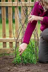 Supporting pea plants with twigs (pea sticks). Pisum sativum