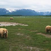 Alaska Brown Bear (Ursus middendorffi) mother and cubs in a field. Katmai National Park, Alaska