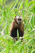Brown Capuchin Monkey, Cebus apella, climbing in bush, Cock of the Rock, Manu, Peru, Andes, Amazonian Rainforest, jungle,  diurnal, arboreal, new world, omnivores. .South America....