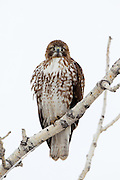Stock photo of red-tailed hawk captured in Colorado.  Males and females perform a courtship ritual in which they dive and roll in the sky.