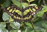 Colorful yellow and black Monarch butterfly on plant