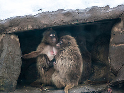 Baboons shelter from the snow at Edinburgh Zoo..©Michael Schofield.