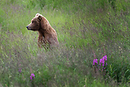 A brown bear stand among tall grasses and fireweed in Katmai National Park, Alaska