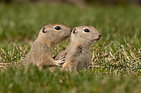 I found a huge family of baby gophers today.  They don't really look all that different from the adults (especially in the pictures) but they really are much smaller.  In fact they are less than half the size of a full grown animal, and very cute!<br /> <br /> ©2009, Sean Phillips<br /> http://www.Sean-Phillips.com