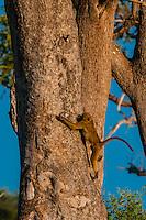 Baboons in trees, Lebala Camp, Kwando Concession, Linyanti Marshes, Botswana.