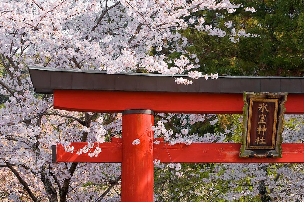 Asia, Japan, Honshu island, Nara, torii gate at entrance to Shinto shrine, under cherry tree in bloom