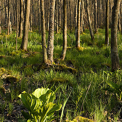 """Early spring in a forested wetland.  Newburyport, MA. """"The Common Pasture."""""""