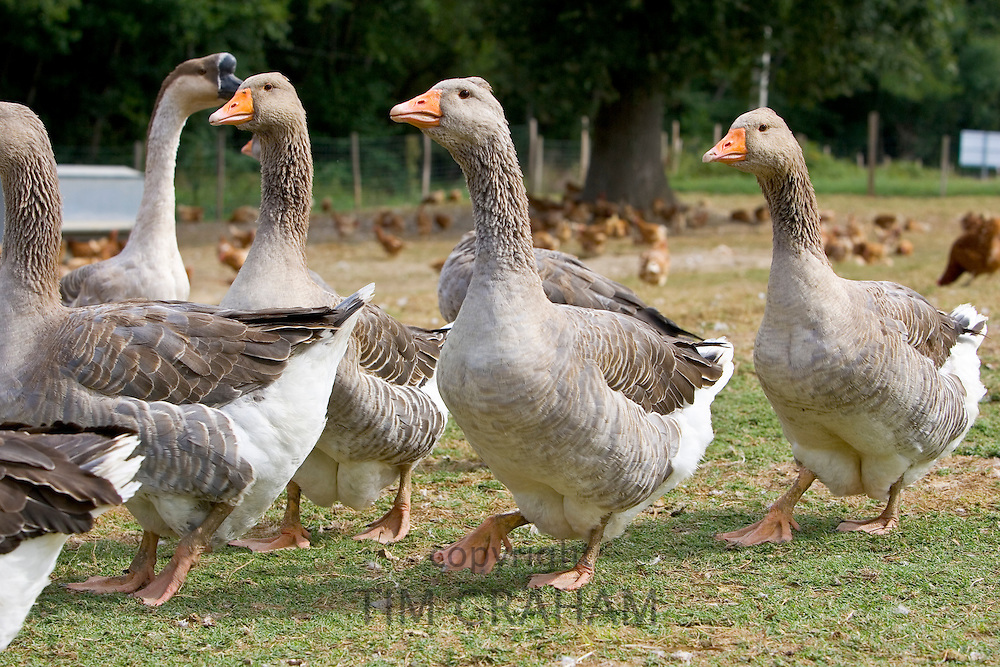 Fattened Toulouse Geese, France. Free-range birds may be at risk if Avian Flu (Bird Flu Virus) spreads