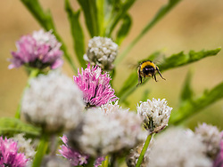 Bumblebee flying over white and purple Chives flower, Getxo, Algorta, Basque Country, Spain, Europe