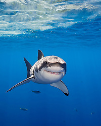 great white shark, Carcharodon carcharias, Guadalupe Island, Mexico, East Pacific Ocean