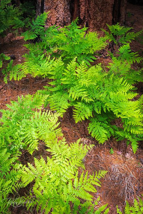 Ferns and pine, Yosemite Valley, Yosemite National Park, California