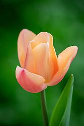 Tulipa 'Apricot Favourite'