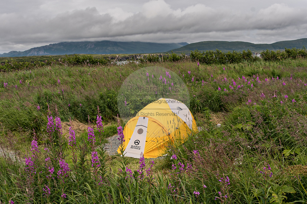 A camping tent set in a field of blooming fireweed at the McNeil River State Game Sanctuary on the Cook Inlet, Alaska. The remote site is accessed only with a special permit and is the world's largest seasonal population of brown bears in their natural environment.