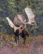 Alaskan bull moose display his antlers to show dominance.