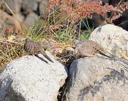 Beautifully camouflaged Inca Doves (Columbina inca) forage round a dry river bed.   Panajachel, Republic of Guatemala. 04Mar14.
