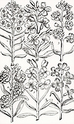 Wallfowers (Cheiranthus) also known as Gillyflowers. Woodcut from 'Paradisi in Sole Paradisus Terrestris' by John Parkinson (London, 1629).