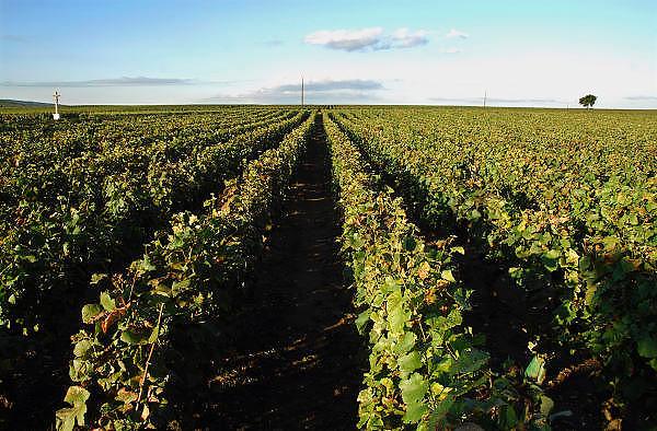 Frankrijk, Beaunne, 20-9-2008Wijngaard. Druiventrossen hangen te rijpen in de zon. De Bourgogne is een belangrijk wijngebied.Bunch of grapes hanging to ripen in the sun. Burgundy is an important wine region. Memorial for the founder of the vineyard.Foto: Flip Franssen/Hollandse Hoogte
