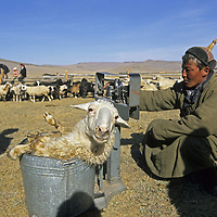 MONGOLIA, Darhad Valley, A herder weighs sheep to check  growth and health during annual veterinary exams of the herd.