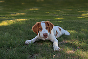 Young Brittany Pup Learning the Ropes