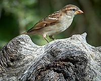 House Sparrow (Passer domesticus). Campos Viejos, Texas. Image taken with a Nikon Df camera and 80-400 mm VRII lens.