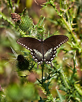 Spicebush Swallowtail Butterfly on a Thistle flower. Image taken with a Fuji X-T1 camera and 55-200 mm OIS lens.
