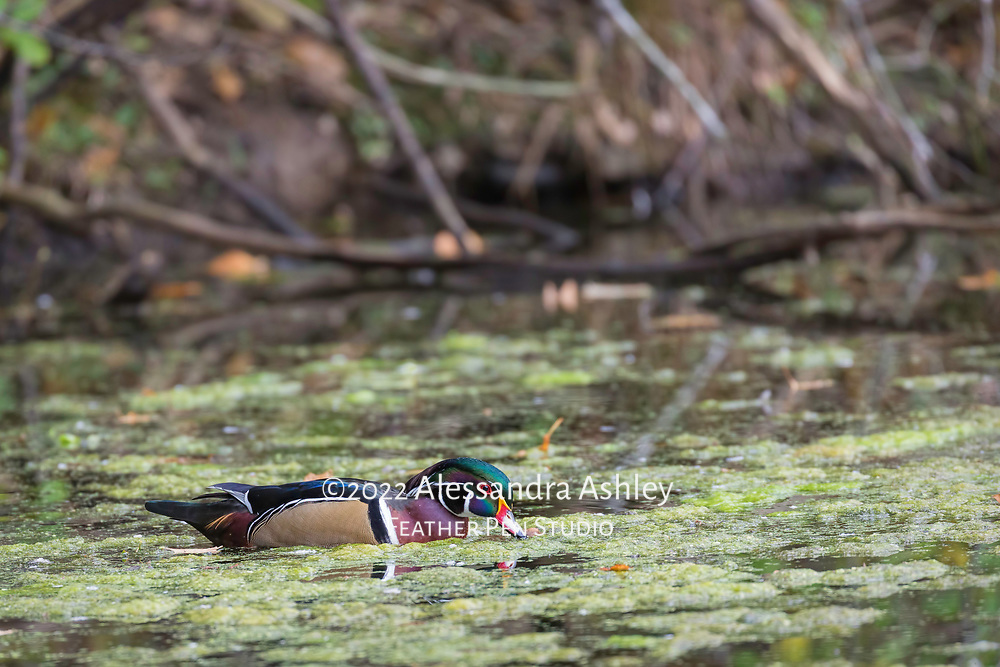 Wood duck male (Aix sponsa) in fresh plumage in swampy pond environment. The wood duck is among the most colorful of American waterfowl.