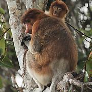 Proboscis monkey (Nasalis larvatus) mother and baby.  Sekonyer river, Tanjung Puting National Park. Borneo