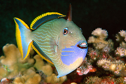 gilded triggerfish or humuhumu, .Xanthichthys auromarginatus,  .courting male coloration, .Kona, Big Island, Hawaii (Pacific)