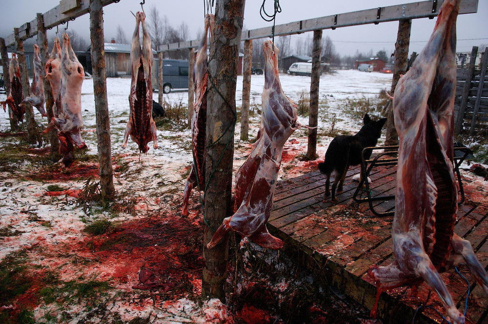 Hirvas Salmi, FINLAND. October 14, 2007- Reindeer carcasses hang to drip blood after the first slaughter on the first day of the first roundup and the first snowfall. Reindeer slaughtered in this labor intensive way are done only for family use. Large scale slaughtering operations are conducted in the reindeer group's own slaughterhouse or in a commercial slaughterhouse in Rovaniemi, a city of 80,000, 7 hours south.