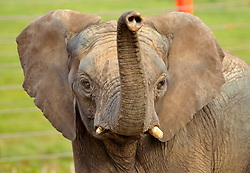 © Licensed to London News Pictures; 23/06/2021; Wraxall, North Somerset, UK. FILE PICTURE dated 10/11/2014 of a male African bull elephant named M'CHANGA, then aged 6, at Noah's Ark Zoo Farm. The zoo announced yesterday that they have launched an investigation after M'Changa now aged 12 was killed last week after an incident with another bull elephant. The zoo says that the incident occurred in the early hours of Friday 18/06/2021 when another bull elephant went into the area where M'Changa was asleep and an attack followed that left M'Changa with fatal injuries. The other two bull elephants at the zoo, Shaka and Janu, were unharmed. The zoo has launched an  investigation into the incident and is reviewing the future of their elephant programme. The announcement of M'Changa's death comes a day after news that new laws could stop new elephants from being brought to UK zoos and safari parks in future. The Government is to receive a report on the welfare of elephants in captivity which is believed to advise against keeping elephants in zoos as it causes them mental illness and other physical issues such as arthritis and the spaces in which they are kept are too small. New laws may say that as captive elephants die out they cannot be replaced. Noah's Ark Zoo Farm has one of the largest elephant facilities in the UK and Europe and their Elephant Eden area has been commended for best practice with specialist elephant keepers, 20 acres of space to roam and extensive efforts made for enrichment and sustaining healthy and active elephants who play an important role as a male population that can be moved to other zoos as breeding bulls to contribute to breeding programmes. Photo credit: Simon Chapman/LNP.