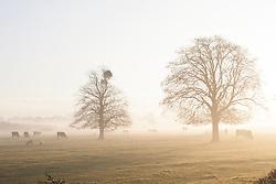 Mistletoe growing on  trees on a misty winter's morning in Gloucestershire. Viscum album