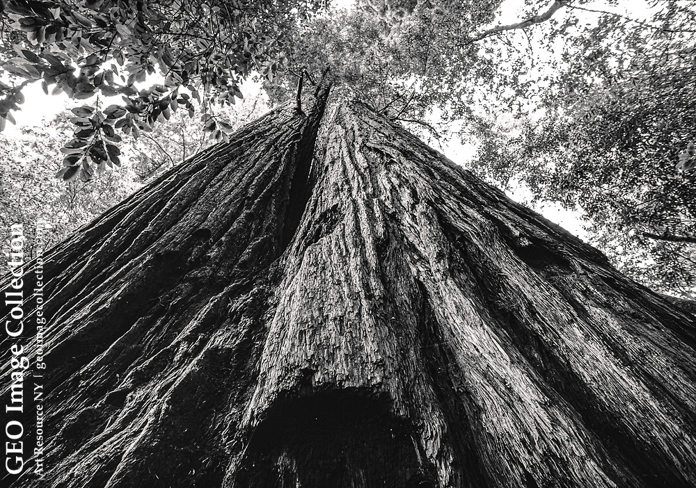 Looking up the double trunk of the tallest tree in the world, this frame shows the tree's bark in de- tail. At 367.8 feet, this giant redwood (Genus: Sequoia, species: gigantea) is over 550 years old.