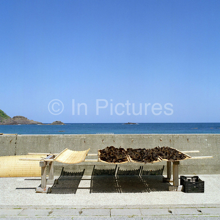 Locally collected seaweed drying on bamboo racks along the coastline in Japan