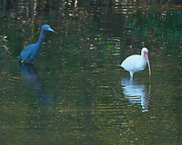 Little Blue Heron (Egretta caerulea) and White Ibis (Eudocimus albus). Weedon Island Preserve. Pinellas County, Florida. Image taken with a Nikon D700 camera and 200-400 mm f/4 VR lens.