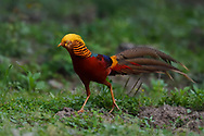 Male Golden pheasant, Chrysolophus pictus, walking through the Yangxian Biosphere Reserve, Shaanxi, China