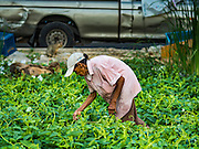 04 JANUARY 2016 - BANGKOK, THAILAND:        A poor woman who lives in the Bang Chak neighborhood picks weeds for stir frying. Bang Chak Market is in the background. It was the market's last day of business. The market closed January 4, 2016. The Bang Chak Market serves the community around Sois 91-97 on Sukhumvit Road in the Bangkok suburbs. About half of the market has been torn down. Bangkok city authorities put up notices in late November that the market would be closed by January 1, 2016 and redevelopment would start shortly after that. Market vendors said condominiums are being built on the land.   PHOTO BY JACK KURTZ