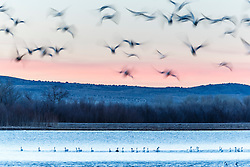 Abstract of Snow Geese in pond and flight, Bosque del Apache, National Wildlife Refuge, New Mexico, USA.