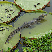 A baby caiman (Caiman crocodilus) resting on a Giant water lilly. Pantnal, Brazil.