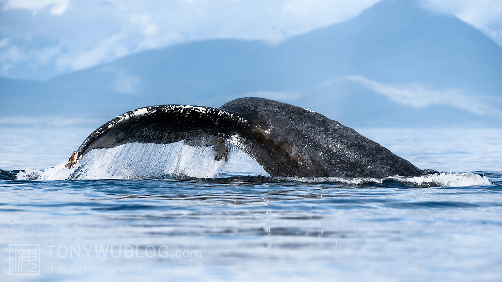 A humpback whale raising its fluke to dive. This whale was part of a group engaged in bubble-net feeding.