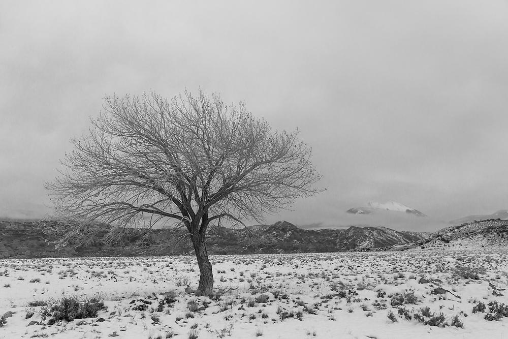 Lone Cottonwood on the range outside of Moab, Utah ...