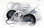 Black Rat - Rattus rattus - caught in trap. This is the rat that is a vector of Plague. Hand-coloured engraving published Edinburgh 1838 in William Jardine 'Naturalist's Library' series.