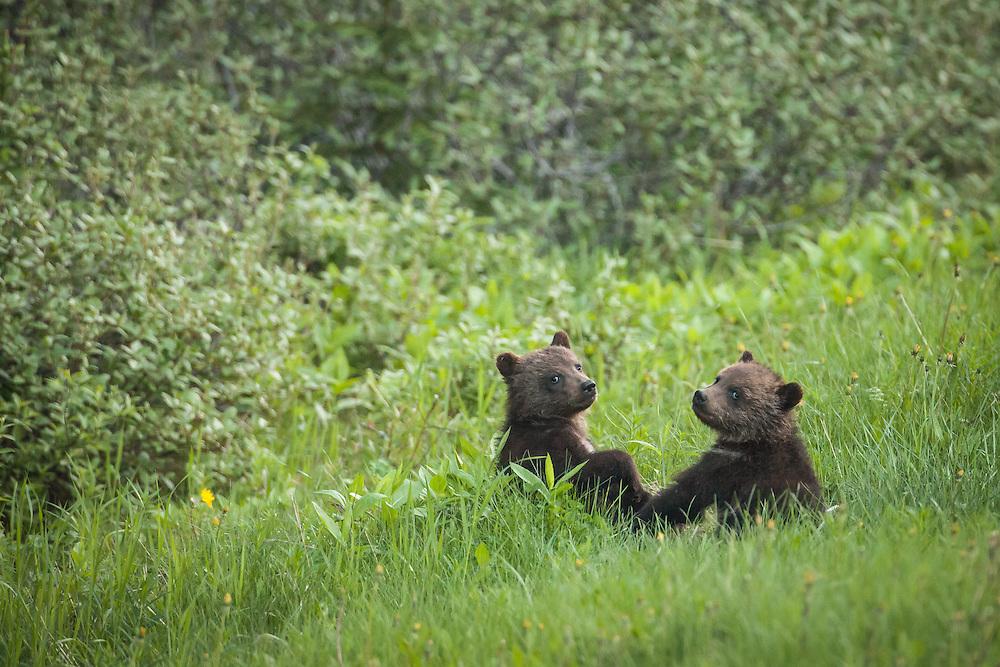 Grizzly bear cubs, Kananaskis, Alberta, Canada