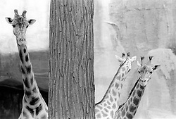 Giraffes appear to look out from behind a tree in their paddock at the Parc Zoologique de Paris in the Bois de Vincennes, Tuesday, June 10, 1984, in Paris. (Photo by D. Ross Cameron)