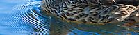 female Mallard duck (Anas platyrhynchos) a surface-feeding duck swimming pushing ripples ahead in Takhlakh Lake in the Gifford Pinchot National Forest, Washington state, USA panorama