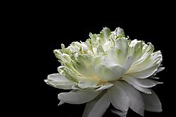 Lotus, nelumbo, white #1