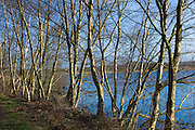 Row of silver birch trees by a lake in the Somerset Levels, UK